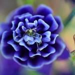 """Purple Columbine Flower 2016"" by KsWorldArt"