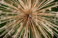 Dried Allium 2016