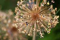 Allium Seeds 2016