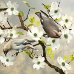 """""""Bohemian Waxwings in Dogwood Tree"""" by spadecaller"""