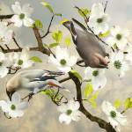 """Bohemian Waxwings in Dogwood Tree"" by spadecaller"