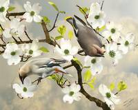 Bohemian Waxwings in Dogwood Tree