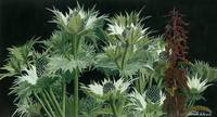 Sea Holly and  Nettle