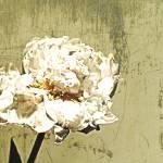 """ORL-7989-1 Elegant White Peony"" by Aneri"