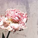 """ORL-7989-8 Elegant White Peony"" by Aneri"