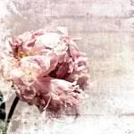 """ORL-7984-2 Romantic Peony"" by Aneri"