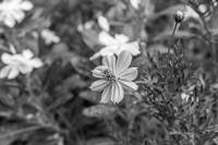 1-Flower In  monochrome