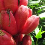 """Pink Bananas"" by joeyartist"