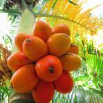 """Palm Fruit"" by joeyartist"