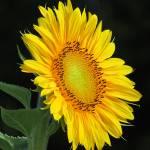 """""""Flower reaching for the sun"""" by SCEnglert"""