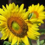 """""""Face of a Sunflower"""" by SCEnglert"""