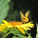 """Sunflower Feast"" by SCEnglert"
