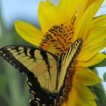 """Friend of the Butterfly"" by SCEnglert"