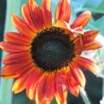 """Moulin Rouge Sunflower"" by SCEnglert"