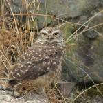 """Burrowing Owl"" by rhamm"