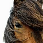 """Iceland Horse - Islenski Hesturinn"" by kenlee"