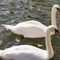 """003 swans on newbury canal 2015"" by ShirleyWhite"