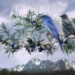 """Mountain Bluebirds and Juniper"" by spadecaller"