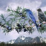 """Mountain Bluebirds and Juniper"" by spadecaller"