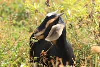 Black and Brown Goat