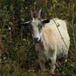 """Brown and White Goat in a Pasture"" by rhamm"