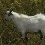 """2016-08-15 White Goat in a Field"" by rhamm"