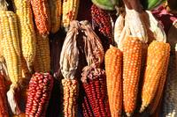 Colorful Corn Cobs