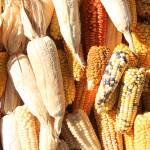 """Varieties of Corn at the Market"" by rhamm"