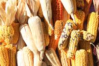 Varieties of Corn at the Market