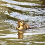 """Duckling Paddling in the Sunshine"" by NatalieKinnear"