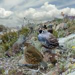 California Quail in the Chaparral