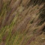 """Ornamental Grass in a Garden"" by rhamm"