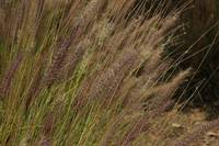 Ornamental Grass in a Garden