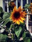 Vineyard Sunflower by RCdeWinter