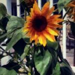 Vineyard Sunflower