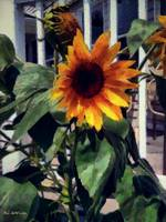 Vineyard Sunflower