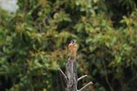 American Kestrel on a Dead Tree