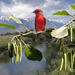 """Vermilion Flycatcher at Owens River"" by spadecaller"