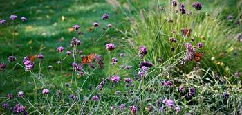 Four Monarch Butterflies 2011