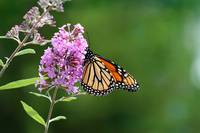 Monarch Butterfly on Butterfly Bush 2011