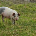 """2016-08-21 Pig in a Pasture"" by rhamm"