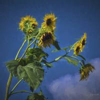 Sunflowers 2 Art Prints & Posters by Louise Reeves