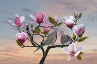 Turtle Doves in Magnolia Tree