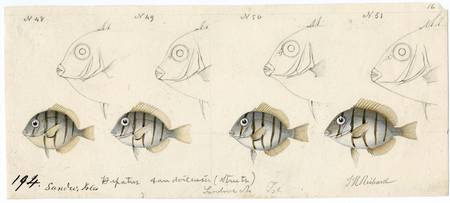 Drawing of fish observed in the Hawaiian Islands b