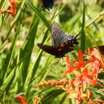 """1076 2016 08-August 01 Butterflies ©Rob Worth Jr.J"" by Photomarketingusa"