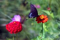 Black Swallowtail Butterfly in Zinnia Paradise