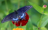 Black Swallowtail Butterfly in Zinnia Garden