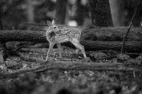 Deer Fawn-Black & White Series #5 by Daniel Teetor