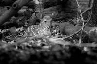 Deer Fawn-Black & White Series #7 by Daniel Teetor