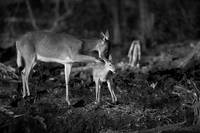 Deer Fawn-Black & White Series #8 by Daniel Teetor